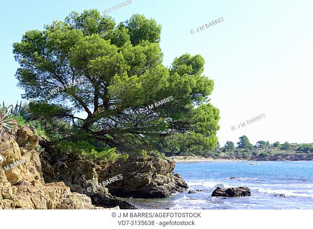 Aleppo pine (Pinus halepensis) is a coniferous tree native to Mediterranean Basin. It is specially abundant in eastern Spain