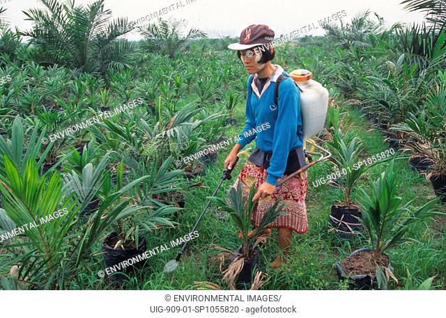 TRANSMIGRATION, SUMATRA. Puntianai Area, nr Bukit Tigapuluh. Migrants from Java have been settled since the 1980s. Oil palm plantation nursery - spraying...