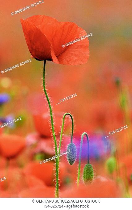Common Poppy. Papaver rhoeas. Schleswig-Holstein, Germany