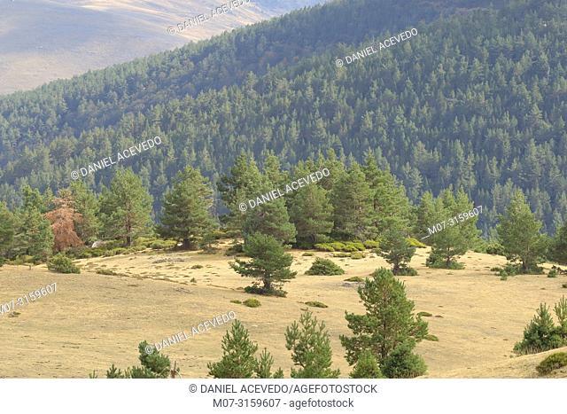 Pine forest at Najerilla Valley, Rioja Region, Spain