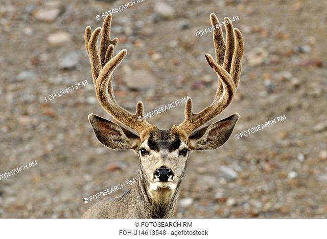 summer portrait mature majestic looking buck
