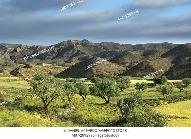 Olive grove in Aguilar de río Alhama, La Rioja wine region, Spain, Europe