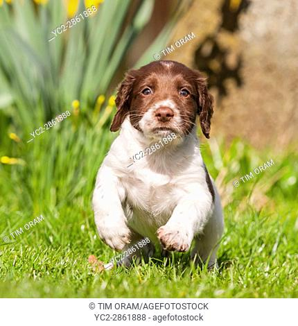 A 6 week old English Springer Spaniel puppy in the Uk