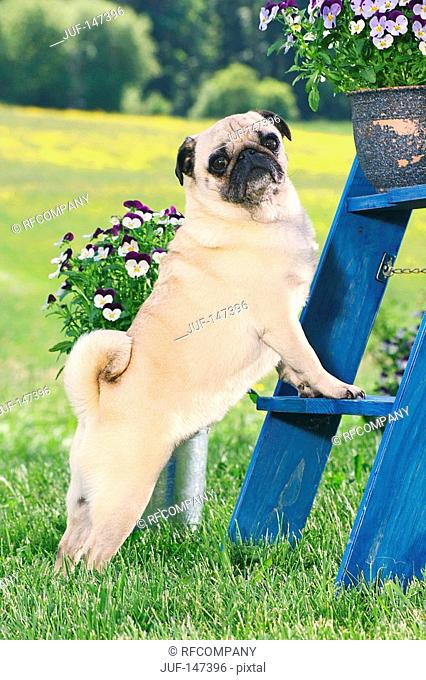 pug - standing on scaffold