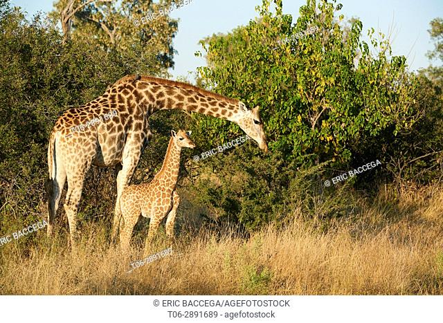 Giraffe female and calf (Giraffa camelopardalis angolensis). Moremi National Park, Okavango Delta, Botswana, Southern Africa