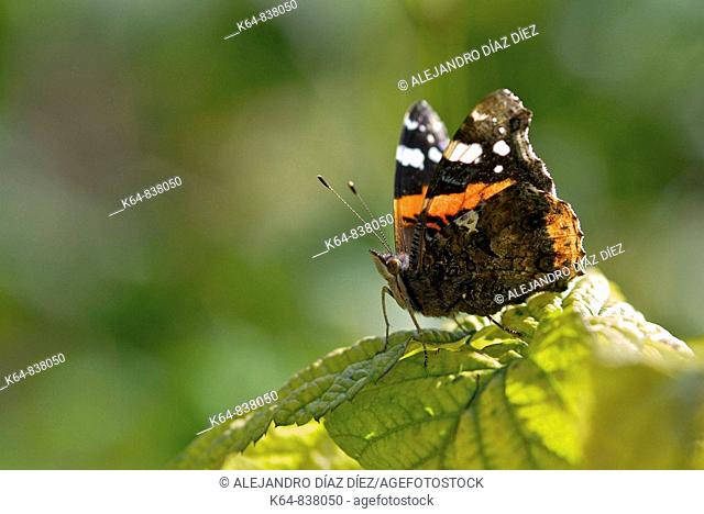 butterfly Vanessa atalanta, numbered. Nord of Spain