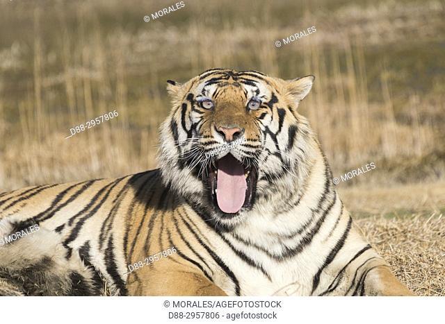 South Africa, Private reserve, Asian (Bengal) Tiger (Panthera tigris tigris), Yawning while resting