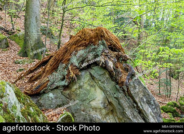 Germany, Baden-Württemberg, Murrhardt, decayed spruce stump over rock in the forest on the Riesberg in the Naturschutzgebiet Felsenmeer in the...