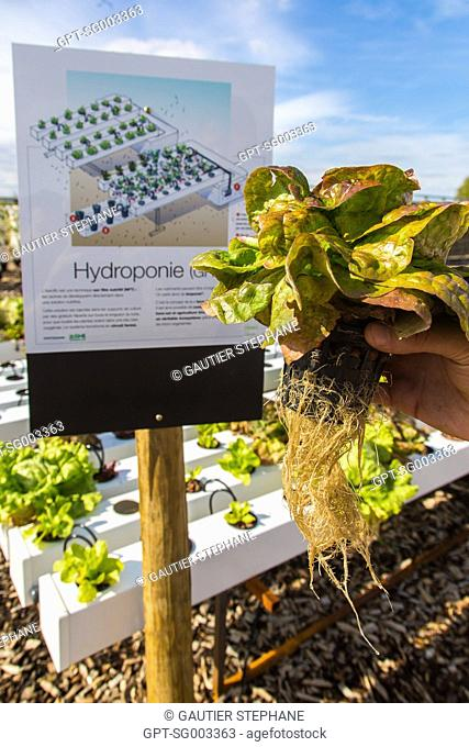 HYDROPONIC GROWING OF LETTUCE, EXPERIMENTAL FARMING PARCEL, PREMIER DEMONSTRATOR OF URBAN FARMING, AN INNOVATIVE SOLUTION FOR REHABILITATING WASTELANDS