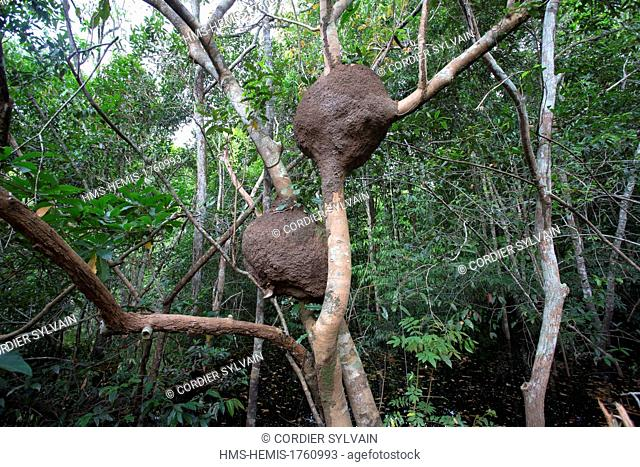 Brazil, Amazonas State, Manaus, Amazon river basin, along Rio Negro, Termite nest in a tree out of the flood