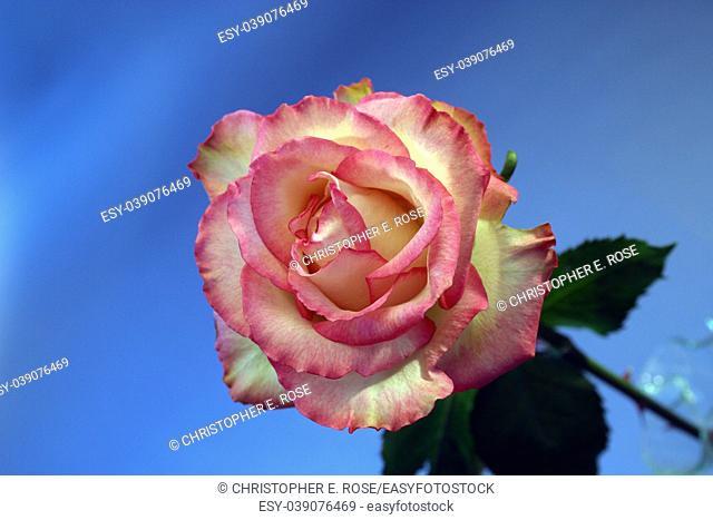 Pink rose against blue background
