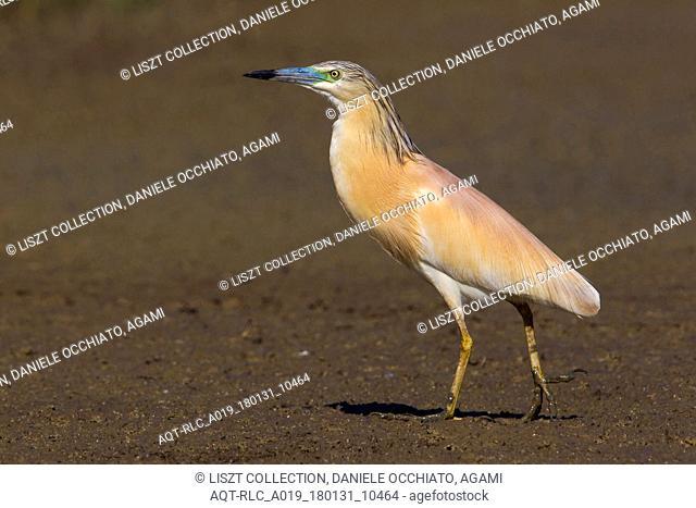 Squacco Heron, Ardeola ralloides