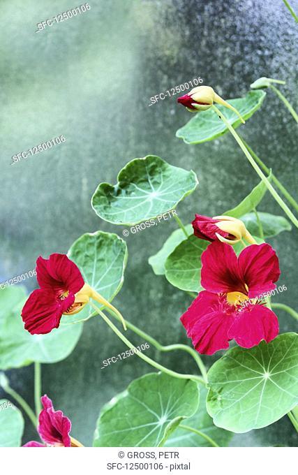 Pink flowering nasturtium
