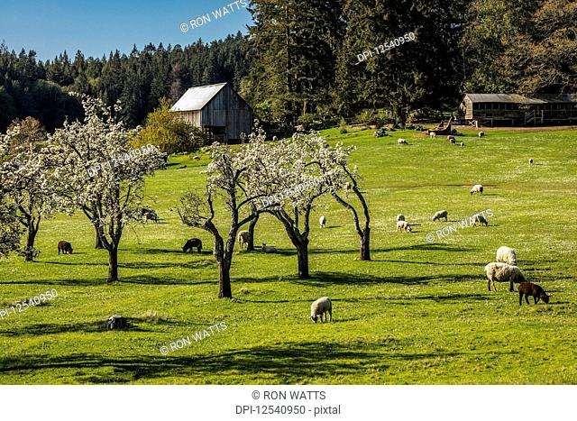 Sheep and lambs (Ovis Aries) graze in the apple orchard in the spring sunshine on the farm of Ruckle Provincial Park; Salt Spring Island, British Columbia