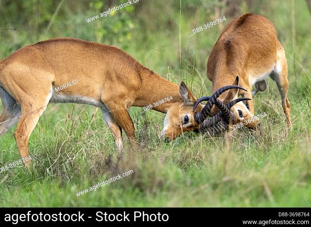Uganda Kob gather in the rainy season to graze the lush grasslands at Ishasha in the southwest sector of the Queen Elizabeth National Park, Fight between males
