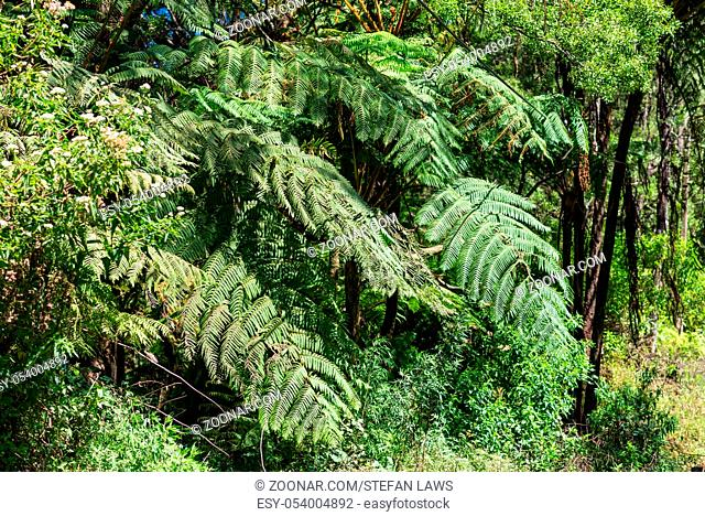 Big fronds from a tree fern in the tropical moist broadleaf forests in the highlands of Sri Lanka