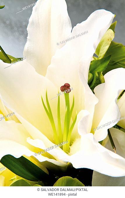 Photography studio, White Lily Flower detail, Girona town, cataluna, Spain, Europe