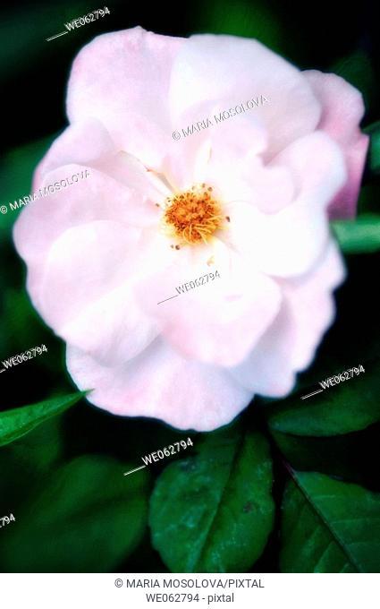 Rose Flower. Rosa hybrid. May 2006, Maryland, USA