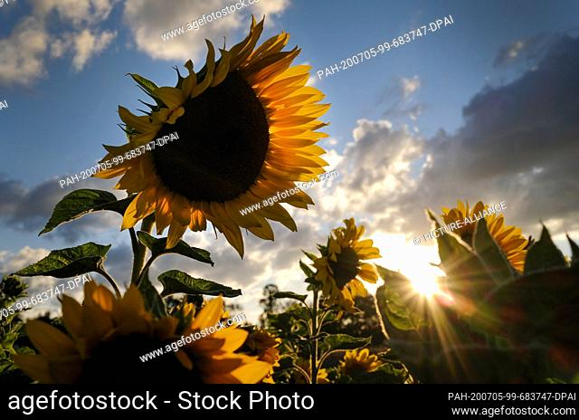 dpatop - 05 July 2020, North Rhine-Westphalia, Duisburg: The sun sets in Duisburg behind a field of sunflowers. Photo: Martin Gerten/dpa