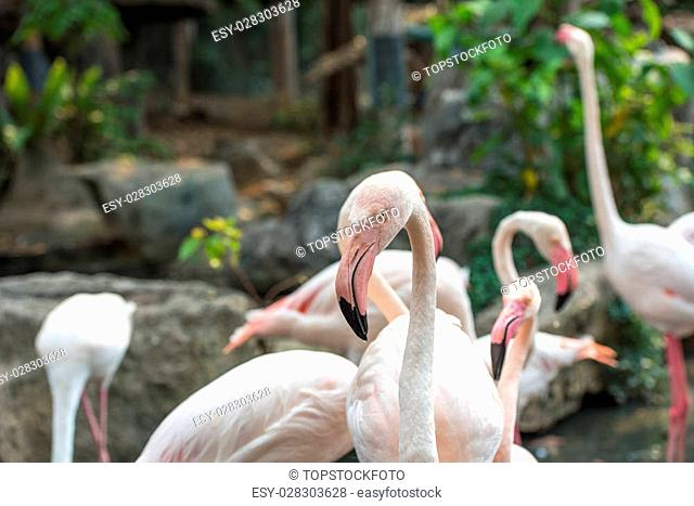 Group of pink flamingos in Chiang Mai Zoo