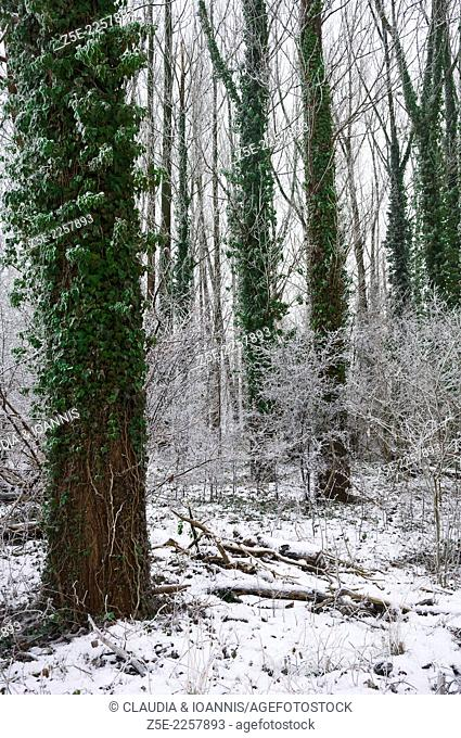 Winterly forest in Münsterland, Germany