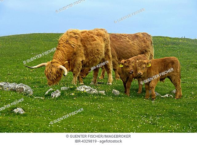 Scottish cattle with two calves, Highland Cattle or Kyloe, on pasture, Scotland, United Kingdom