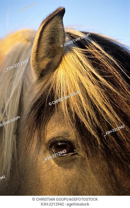 Tarpan horse in the Wildlife Park of Sainte-Croix, Moselle department, Lorraine region, East of France, Europe