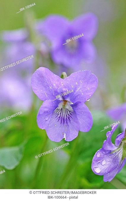 English violet sweet violet (Viola odorata) flower