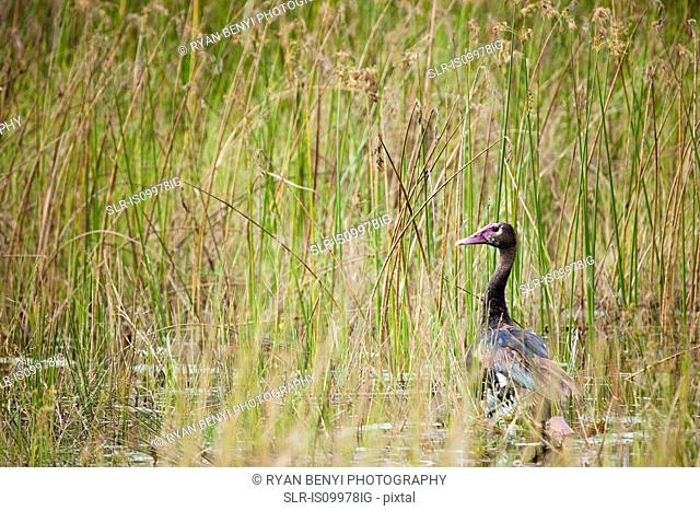 African Duck in the tall grass