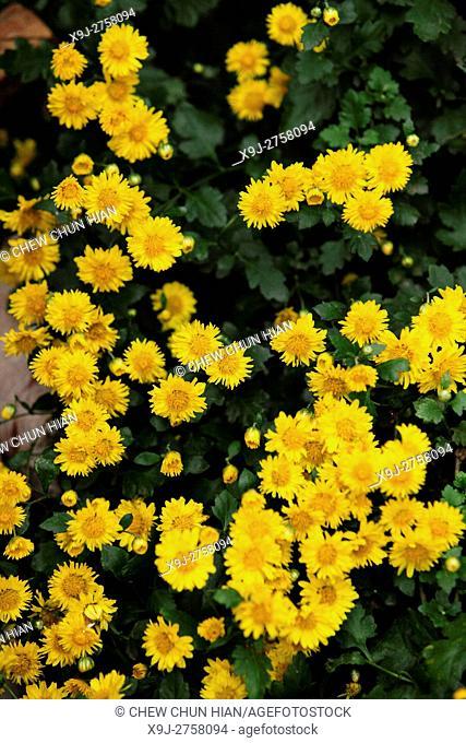 chrysanthemum, , Daisy Flowers, asia