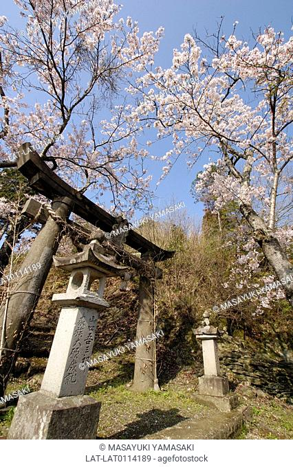 Stone shrine building. Shinto temple. Torii gate arch,stone steps up the path,and stone lantern posts. Cherry trees in blossom. Spring
