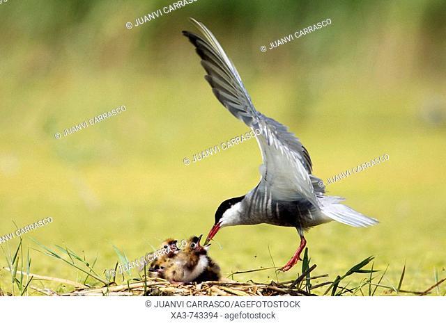 Whiskered tern , Chlidonias hybrida , feeding chicks at nest