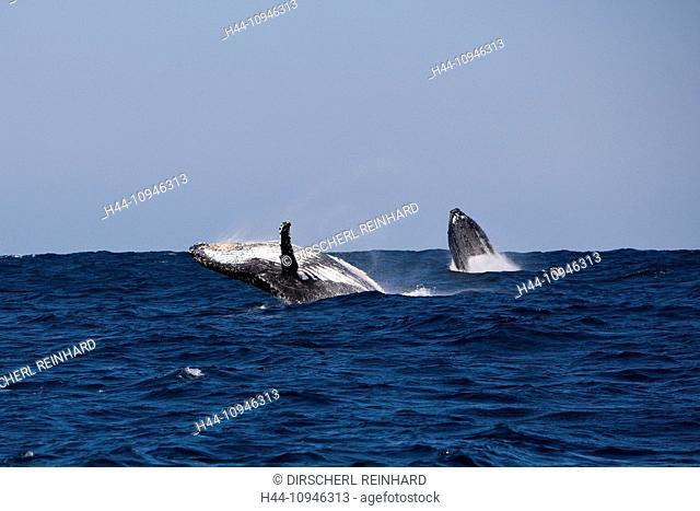 Breaching Humpback Whale, Megaptera novaeangliae, Indian Ocean, Wild Coast, South Africa, Humpback Whale, Whale, Whales, Balaenopteridae, Mysticeti, Cetacea