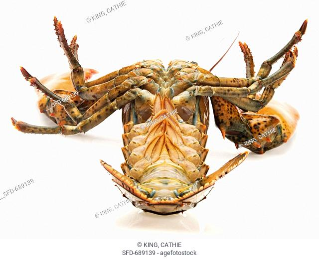 Live Maine Lobster Turned on Back, White Background