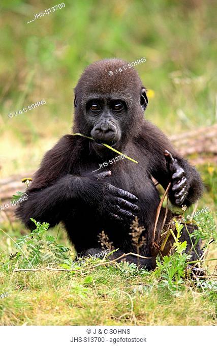 Lowland Gorilla, (Gorilla gorilla), Africa, young feeding
