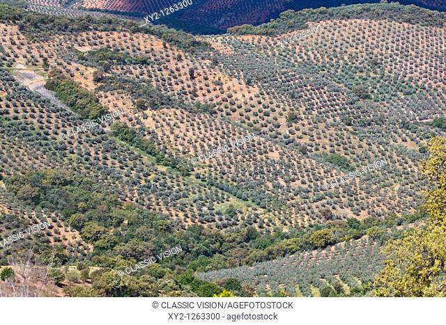 Olive groves in Sierra de las Villuercas, Caceres Province, Spain
