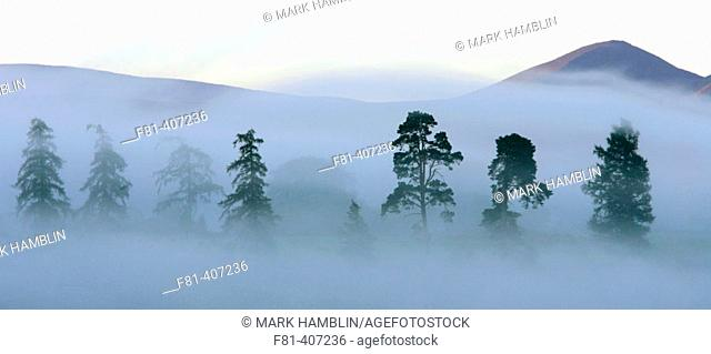 Scot's pines (Pinus sylvestris) at dawn. Cairngorms National Park, Scotland. UK