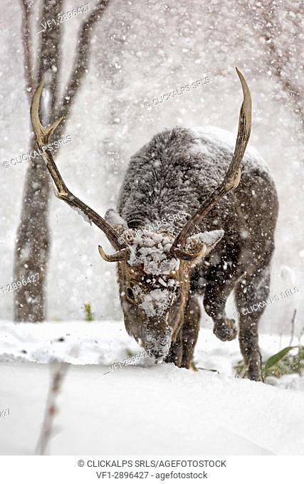 Sika deer in Shiretoko peninsula,Hokkaido, Japan
