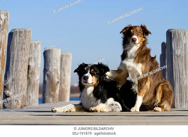 Australian Shepherd. Two adult dogs (blue merle and red tri) on a jetty. Germany