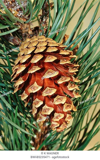 mountain pine, mugo pine Pinus uncinata, Pinus mugo ssp. uncinata, cone