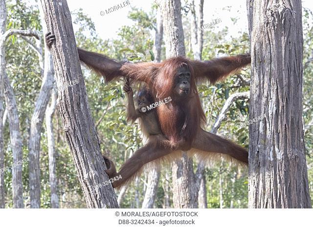 Asia, Indonesia, Borneo, Tanjung Puting National Park, Bornean orangutan (Pongo pygmaeus pygmaeus), Adult female with a baby