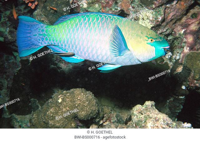 parrotfish (Scarus ferrugineus), male is cleaned by a cleaner fish, Labroides dimidiatus, Egypt, Red Sea, Sharm El Naga