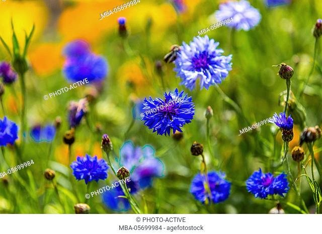 Cornflowers, flower meadow, Centaurea cyanus