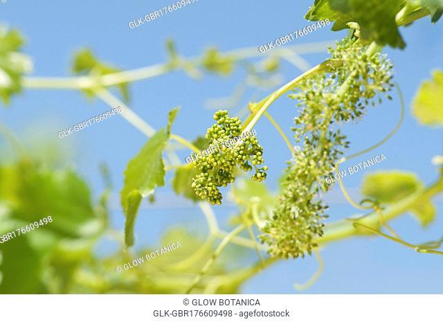 Grapes hanging from a vine, Fatima Valley, Chilecito, La Rioja Province, Argentina