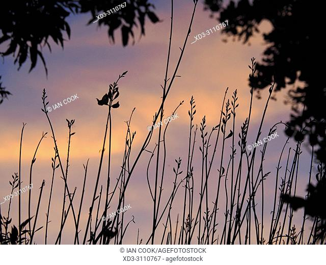 sunset through reeds, Saint-Martin-de-Re, Ile de Re, Charente-Maritime Department, Nouvelle Aquitaine, France