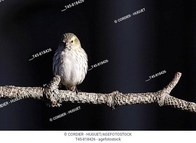 Siskin (Carduelis spinus)