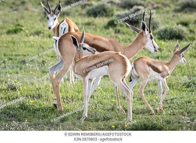 Springbok antelope at Etosha National Park in Namibia, Africa