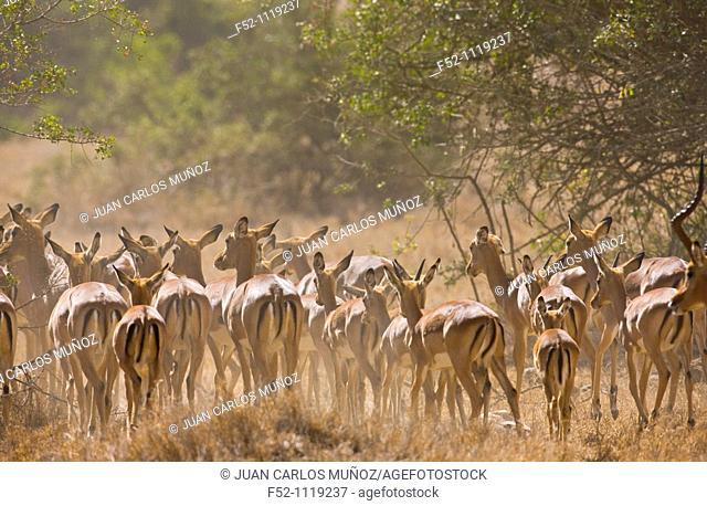 Impala (Aepyceros melampus), Kenya, Africa