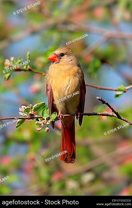 Female Northern Cardinal (cardinalis)