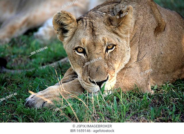 Lion (Panthera leo), female adult, Sabisabi Private Game Reserve, Kruger National Park, South Africa, Africa